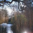 Weeping Willows at Beacon Hill Park