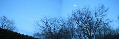 Robins collecting in the slippery elm and maples at nightfall